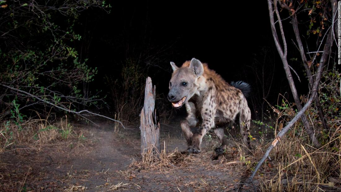 A spotted hyena in the Zambezi Region of Namibia.