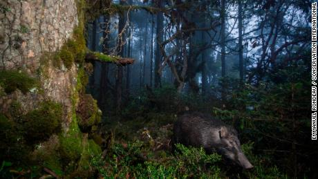 A camera-trap photo of a wild boar in the Trongsa District of Bhutan.