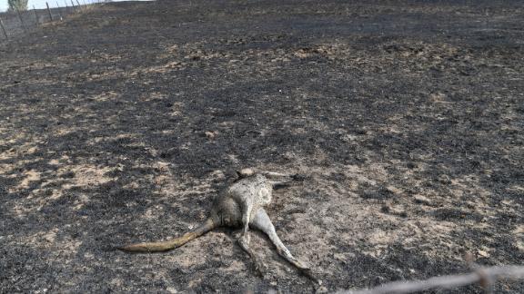A dead kangaroo lies on a burnt farm in Batlow.
