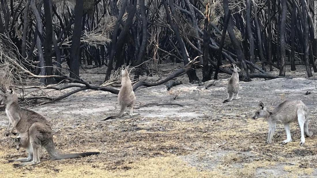 Animals badly burnt by Australian wildfires euthanized