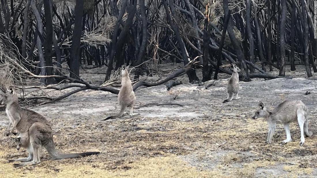 Τα ζώα καεί από την Αυστραλιανή πυρκαγιές ευθανασία