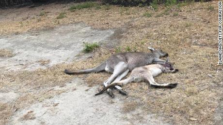 The Mallacoota golf course was a sanctuary for animals fleeing Australia's bushfires, but it has become a killing field.