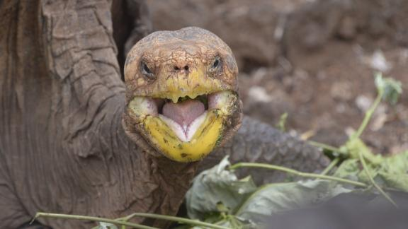 Diego, a tortoise of the endangered Chelonoidis hoodensis subspecies from Española Island, is seen in a breeding centre at the Galapagos National Park on Santa Cruz Island in the Galapagos archipelago, located some 1,000 km off Ecuador's coast, on September 10, 2016. / AFP / RODRIGO BUENDIA        (Photo credit should read RODRIGO BUENDIA/AFP via Getty Images)