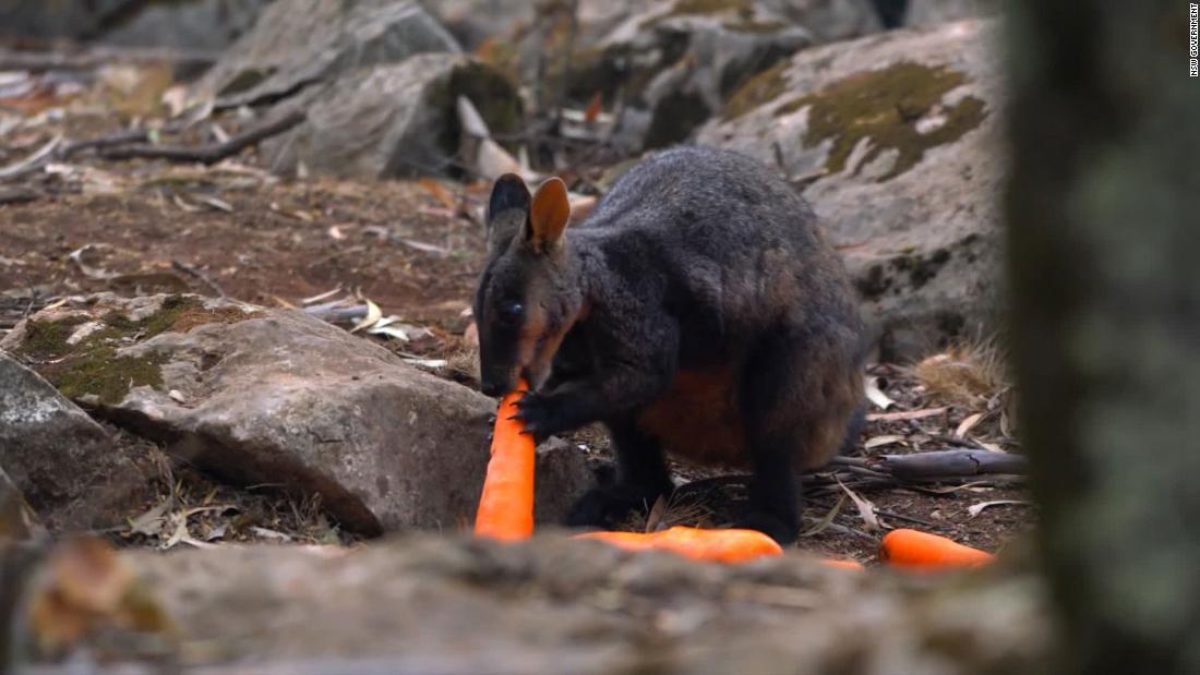 オーストラリアを動物が逃げ火災によるairdropping千ポンドの野菜