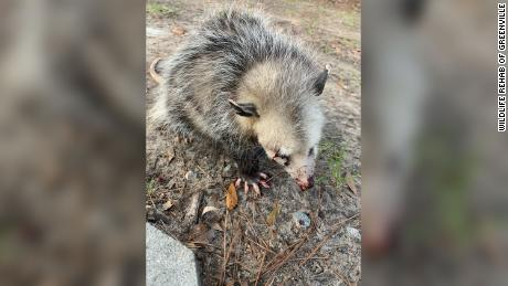 A baby opossum found with eyes injured, broken jaw and other injuries on a Hilton Head golf course