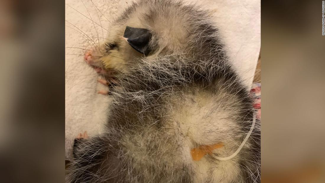 赤ちゃんopossum殴られまで盲検ヒルトンヘッドゴルフコース