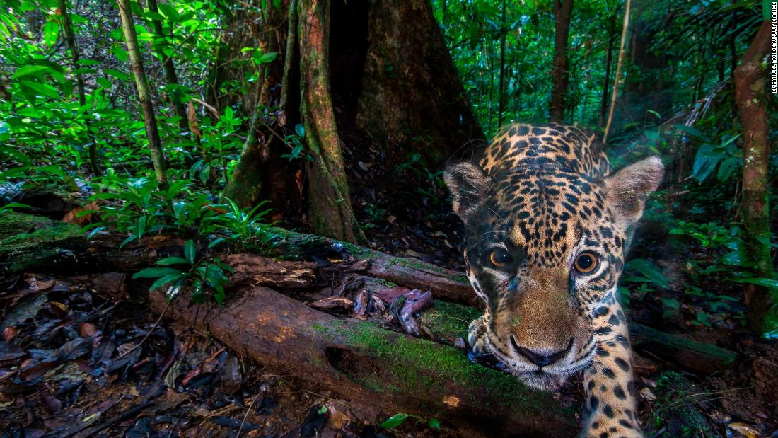 Wildlife Insights is a website compiling millions of camera-trap photographs. Pictured, a jaguar photographed deep inside the Nouragues Natural Reserve, French Guiana. <strong>Scroll through to see more wildlife caught on camera.</strong>