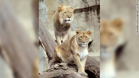 African lions Zenda and Isis