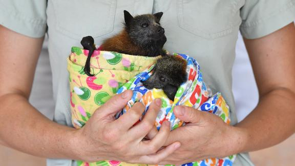 Veterinarian Ludo Valenza holds two grey-headed flying foxes, which were being treated for bushfire injuries at the Australia Zoo Wildlife Hospital in Beerwah, Australia, on Wednesday, January 15.