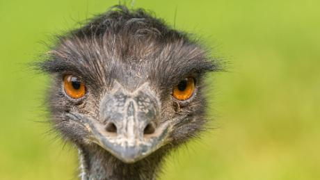 Emus are a tall, flightless bird native to Australia, and resemble their relative the ostrich.