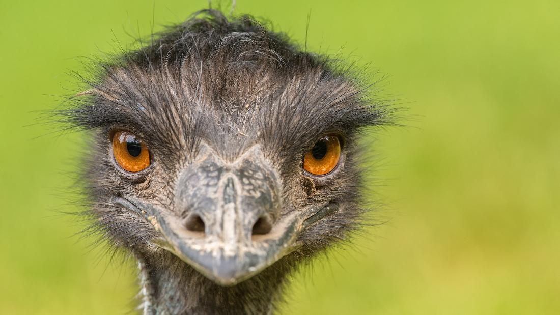 Months ago, emus started showing up in a tiny Australian town. They're not leaving