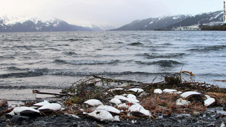 Dead common murres washed up in Whittier, Alaska, on January 7, 2016.