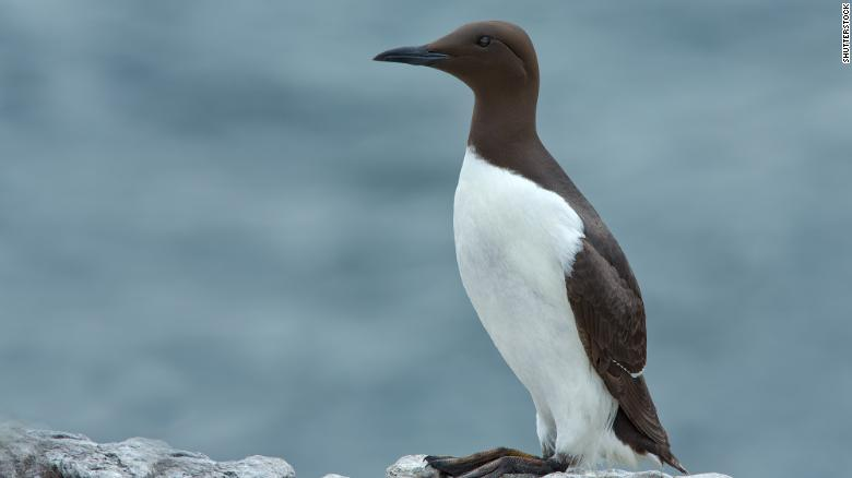 A common murre -- a fish-eating seabird of the North Pacific.