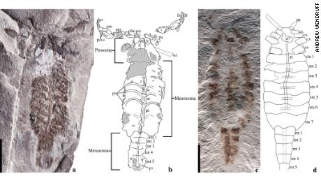 Elements of the scorpion's circulatory, respiratory and digestive system were preserved in two fossils.