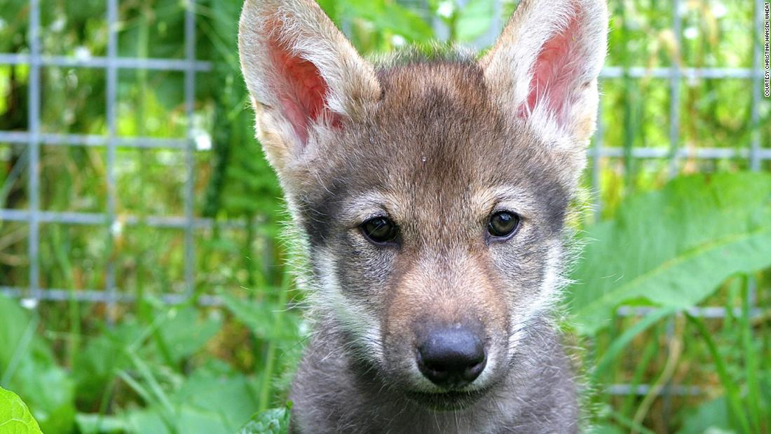Wolf Welpen, wie domestizierte Hunde, Sie lieben es zu spielen Holen