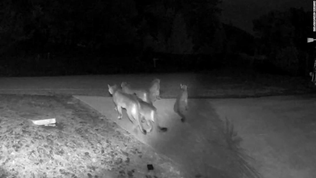 A home surveillance camera captured 5 mountain lions, typically solitary animals, hanging out together