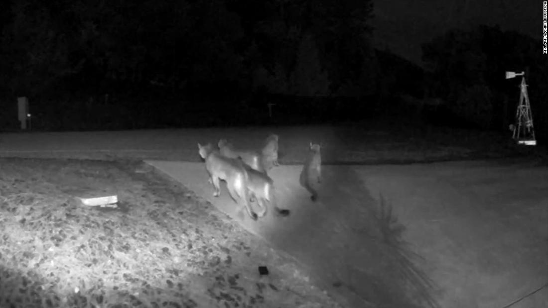 Video-überwachung erfasst rare video von mountain lions