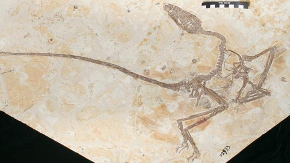 The Wulong bohaiensis fossil found in China