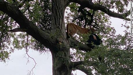 A mountain lion grabbed a backpack and climbed a tree after attacking 3-year-old.