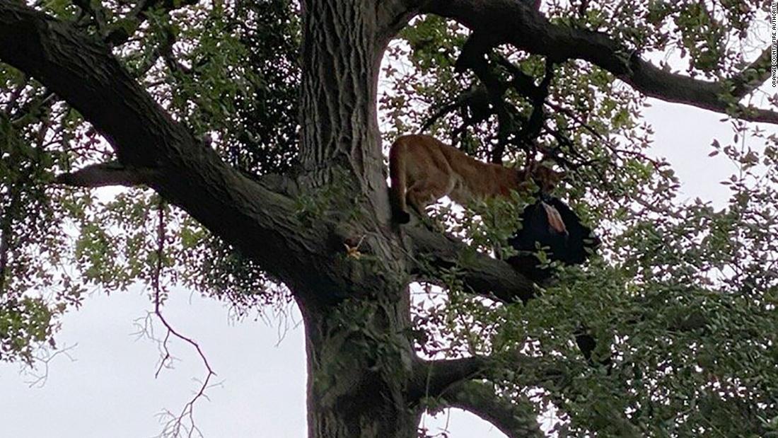3歳の男に襲撃された山ライオンカリフォルニア州の大自然公園があります。 動物た致死処分を