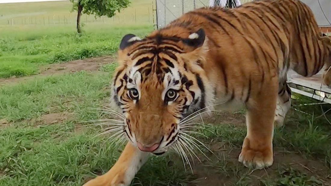 Αυτές οι τίγρεις που δαπανάται ζωή σε κλουβιά. Δείτε τις πρώτες στιγμές της μια νέα ζωή.