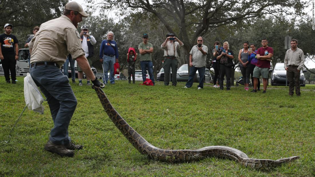 Pythons rounded up in annual Florida Everglades hunt