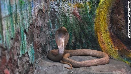 A venomous spectacled cobra, also known as Indian cobra (Naja Naja) or white cobra, is seen near a painting inside its enclosure at the Kamla Nehru Zoological Garden in Ahmedabad on January 30, 2019.
