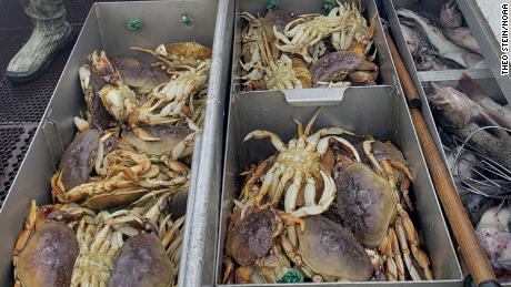 The Pacific Ocean is acidifying at such a rate that Dungeness crabs, some of the most valuable crustaceans in the Pacific Northwest, are suffering partially dissolved shells and damage to their sensory organs, a new study found.