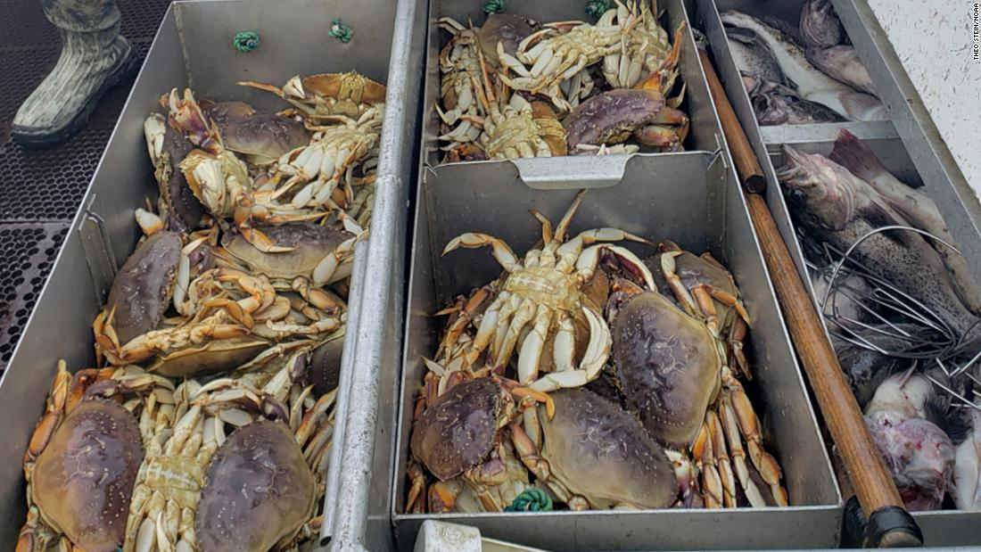 The Pacific Ocean is so acidic that it's dissolving Dungeness crabs' shells - CNN