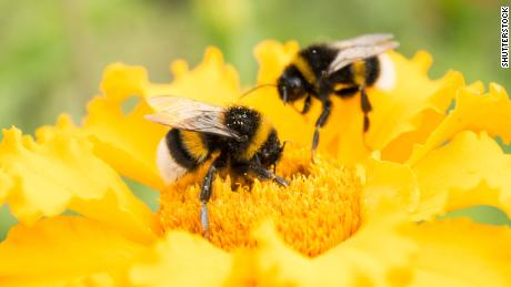 If you want to save bumble bees, plant these flowers in your yard
