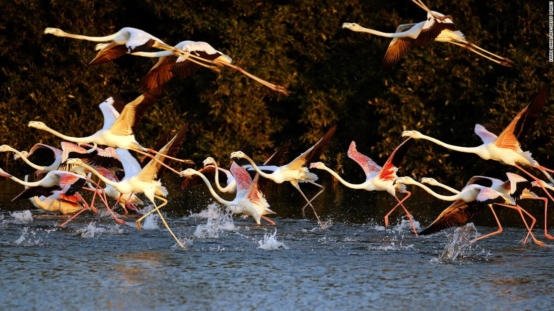 February 2 is World Wetlands Day. This year, the theme is wetland biodiversity -- celebrating the varied wildlife that depends on rivers, lakes, marshes and mangroves.<br />Pictured, flamingos at the Ras al-Khor Wildlife Sanctuary on the outskirts of Dubai. This desert wetland of mudflats, lagoons and pools is on the banks of Dubai Creek. <strong>Scroll through to see more wetland wonderlands.</strong>
