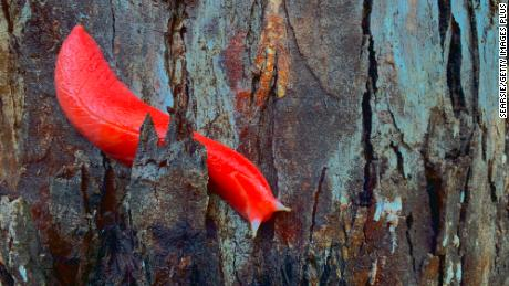 Many feared the pink slug could be among species wiped out by bushfires -- but they can now breathe easily.