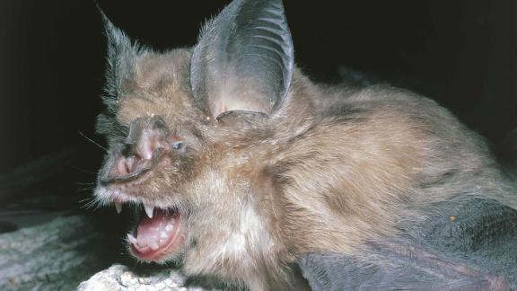 UNSPECIFIED - OCTOBER 28:  Greater Horseshoe Bat (Rhinolophus FerrumEquinum)  (Photo by De Agostini via Getty Images/De Agostini via Getty Images)
