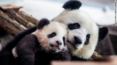 Germany's first baby pandas make their public debut