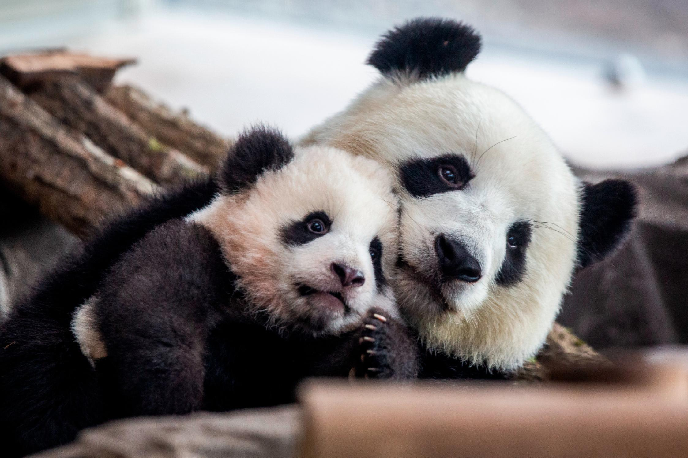 Germany S First Baby Pandas Make Their Public Debut Cnn Video