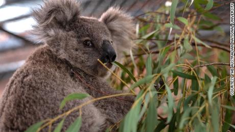 Koalas recover from bushfires and heatwaves at the Australian National University's campus.