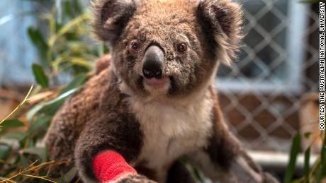Rescued koalas named for fallen American firefighters