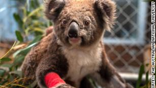 Rescued koalas named for fallen American firefighters
