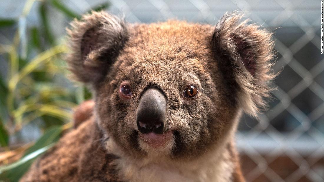 Image result for Canberra's '5-star Koala Hotel' reveals Australian bush fires impact