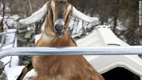 Lincoln, a 3-year-old Nubian goat, is the incumbent in the mayoral race for the Town of Fair Haven.