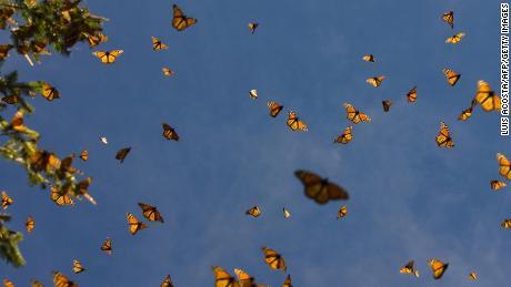 Hallan en México una segunda figura de guardia de la mariposa monarca
