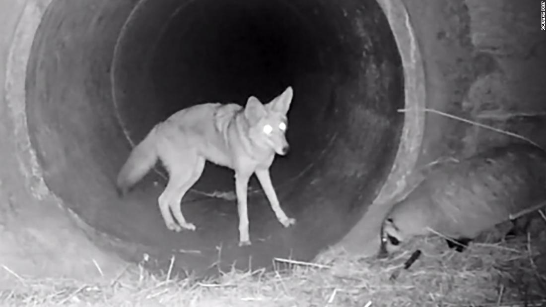 An unlikely friendship between a coyote and badger was caught in this adorable video