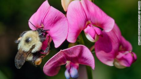 Bumblebees are going extinct because of the climate crisis, but there are easy ways to help