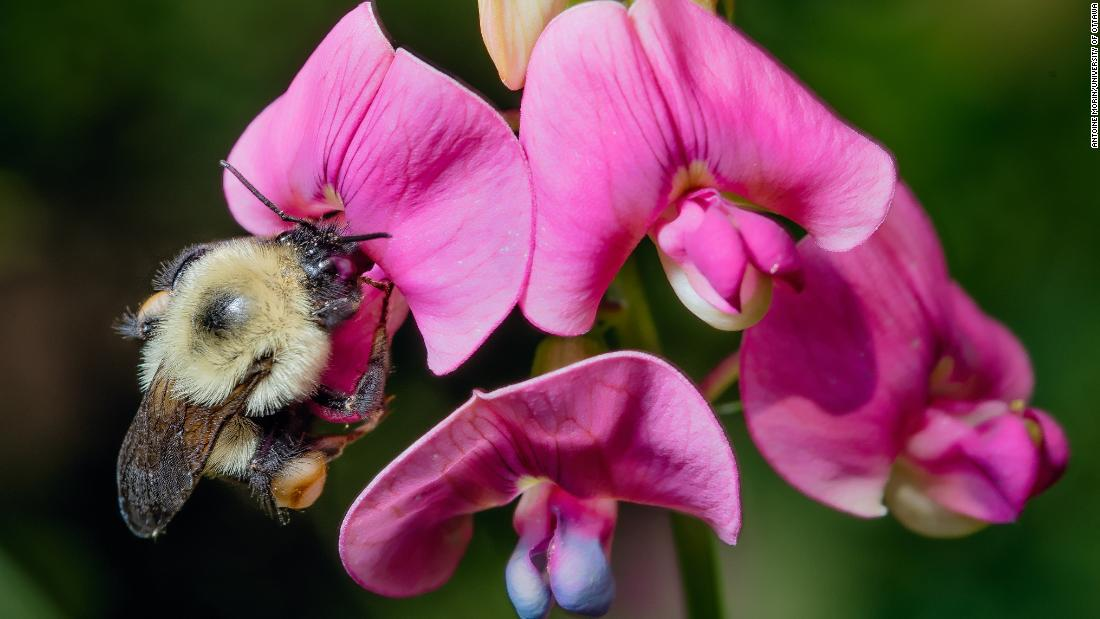 Bumblebees are going extinct because of the climate crisis, but there are easy ways to help - CNN