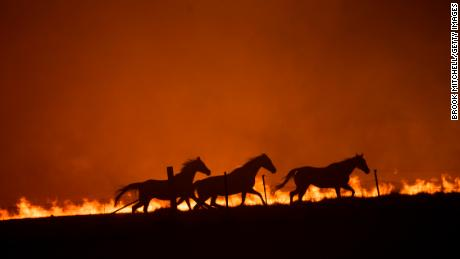 Panicked horses flee a bushfire near Canberra, Australia, on February 1, 2020. A new study finds that the recent fire that swept through the country were made far more likely by the climate crisis.
