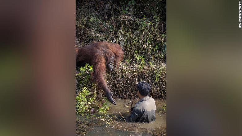 The orangutan held out its hand to the man, who was clearing snakes from a river as part of efforts to protect the endangered apes.