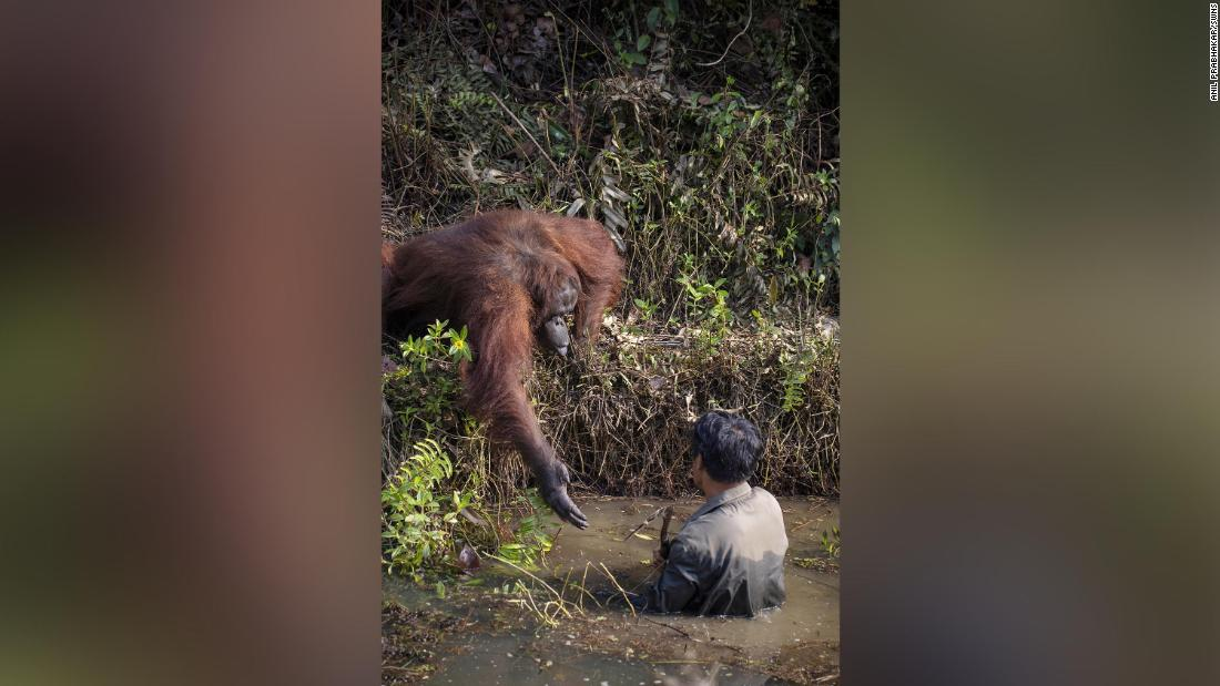 This orangutan saw a man wading in snake-infested water and decided to offer a helping hand