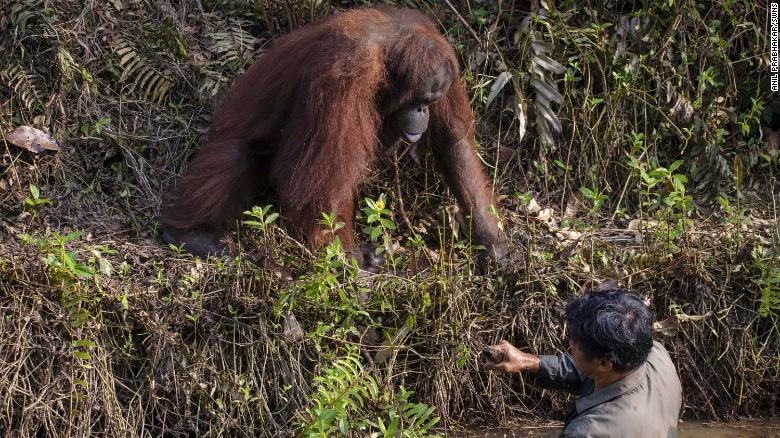 The great ape appeared to be trying to help the warden, who was standing in a muddy, flowing river.