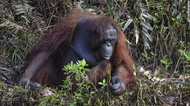 The conservation forest is maintained by Borneo Orangutan Survival Foundation, which protects the critically endangered species from hunters and habitat destruction until they can be returned to the wild.
