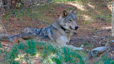 The gray wolf OR-54 was captured and tagged in 2017 and wandered as far south as Nevada.